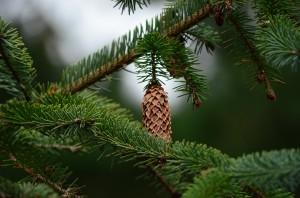 pine_cones_960_720