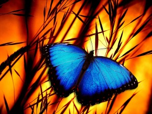 blue_morpho_fire_transformation_960_720