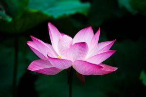lotus_960_720